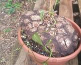 Dioscorea macrostachya