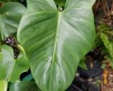 Philodendron panduraforme