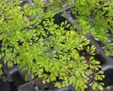 Adiantum microphyllum Little Lady