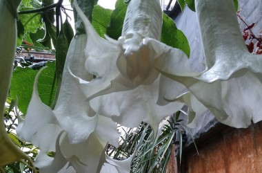 Brugmansia candida Double White [plena]