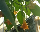 Brugmansia insignis Dr. Suess [hyb]