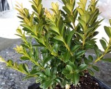 Buxus sinica insularis Wee Willie (TM)