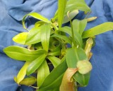Nepenthes Sangiunea