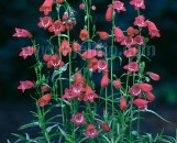 Penstemon mexicale Sunburst Ruby