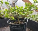 Premna aff. microphylla