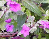 Impatiens walleriana Robert Burns