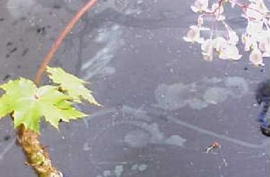 Begonia crassicaulis