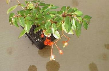 Begonia fuchsioides [hyb]