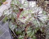 Begonia Hawaiian Freakout [hyb]