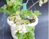 Begonia Hocking Hieroglyph