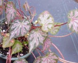 Begonia Strawberry Creme [hyb]