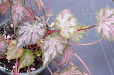 Begonia Strawberry Creme [hyb]