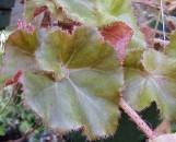 Begonia Frosty Fairyland [hyb]