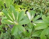 Brassia arboricola Coppel