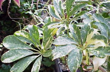 Brassia arboricola Worthey
