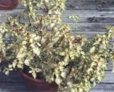 Coleus rehneltianus Green & Gold Queen