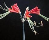 Eucrosia Bicolor