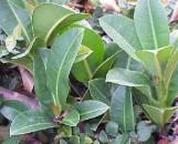 Ficus elastica congesta