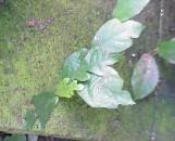 Ficus quercifolia Montana