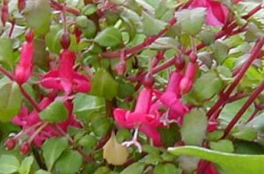 Fuchsia encliandra Lottie Hobbie