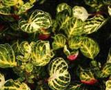 Iresine herbstii aureo-reticulata