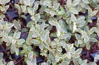 Lonicera yunnanensis Pat's Variegated