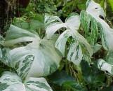 Monstera deliciosa albo-variegata