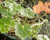 Pelargonium hortorum Platinum