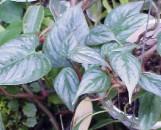 Philodendron ornatum [sodoroi]