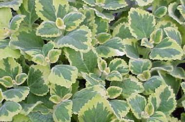 Plectranthus Collection  (5 plants)
