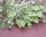 Senecio orbicularis