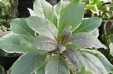 Solandra maxima variegata [Warrimoo?]