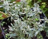 Trachelospermum asiaticum Shirofu-Chirimen