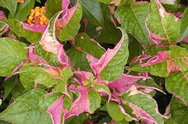 Alternanthera Collection  (5 Plants)
