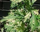 Artemisia lactiflora Orientale Limelight