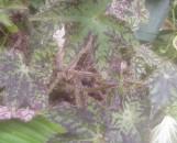 Begonia Hocking Bling [hyb]