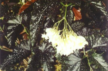 Begonia Little Miss Mummy [hyb]