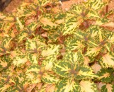 Coleus Collin's Gold