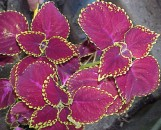 Coleus Heart Of Darkness