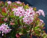 Crassula ovata rubiflora