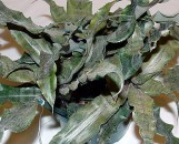 Cryptanthus Old Gold