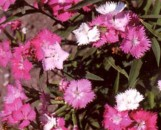 Dianthus First Love [hyb]