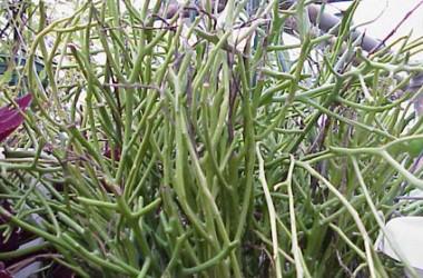 Euphorbia brachiata [hort]