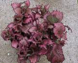 Fittonia verschaffeltii Red Star