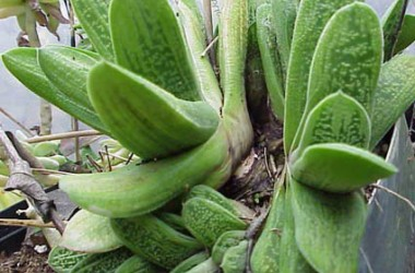 Gasteria Lime Warty [hort]