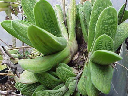 Gasteria Lime Warty [hort] - Glasshouse Works