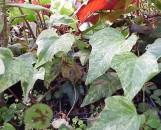 Hedera algeriensis [canariensis] maculata