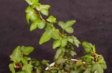 Hedera helix Spetchley