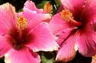 Hibiscus rosa-sinensis Sensation