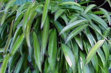 Hoya kentiana [hort]
